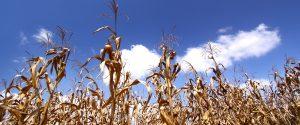 Himmel durch ein Maisfeld betrachtet
