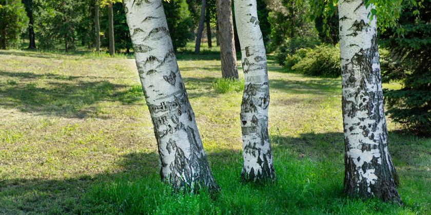 Birkenpollen – akzeptable Beeinträchtigung